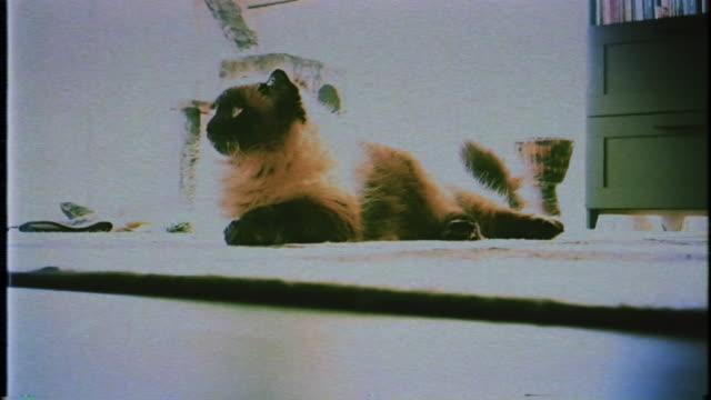 sacred cat of burma domestic cat - burma home do стоковые видео и кадры b-roll