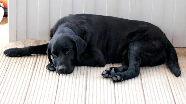 Sad black labrador retriever Sad black labrador retriever flea insect stock videos & royalty-free footage