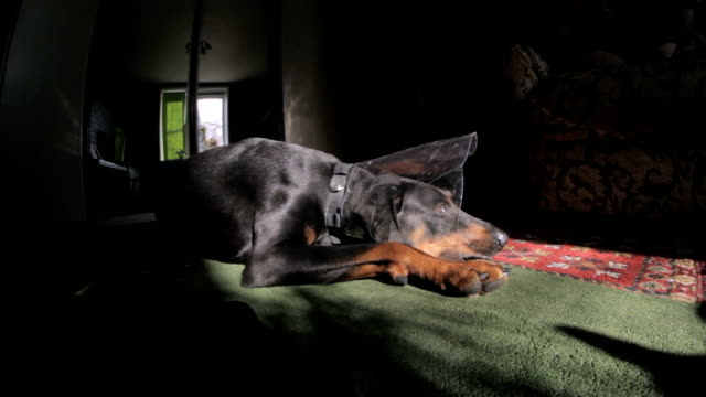 Sad Dog breed Doberman medical collar Sad Dog breed Doberman medical collar  Close-up Full HD jack russell terrier stock videos & royalty-free footage