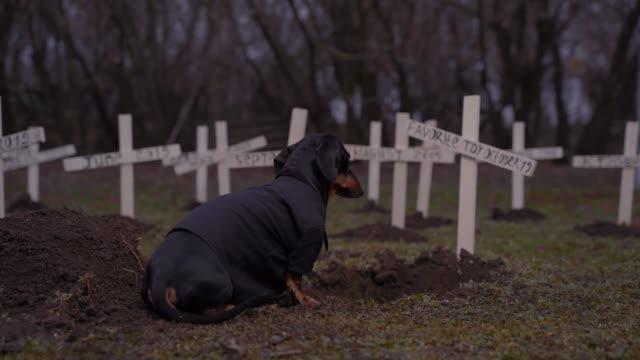stockvideo's en b-roll-footage met droevig weinig teckel die donker kostuum draagt zit op begraafplaats voor graf met inschrijving favoriet stuk speelgoed van oktober. humor concept van verwende hond, het doden van haar speelgoed. - funeral crying
