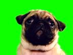 istock Sad pug 472433873