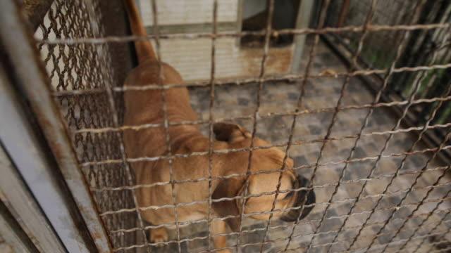 trauriger reinrassiger hund im tierheim hinter zaun wartet darauf, gerettet und in ein neues zuhause gebracht zu werden - käfig stock-videos und b-roll-filmmaterial