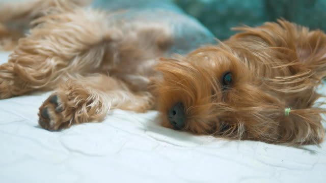 sad sick dog lies on the bed and is sad. shaggy dog fell ill. concept dog Yorkshire Terrier veterinarian pet disease - vídeo
