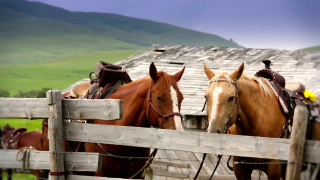 Saddle horses tied off at corral Close-up view of  a group of horses saddled and tied off at a wooden corral side by side waiting for their riders in a pasture located in the foothills of the Canadian Rockies in Southern Alberta Canada in view of the Livingstone  mountain range saddle stock videos & royalty-free footage