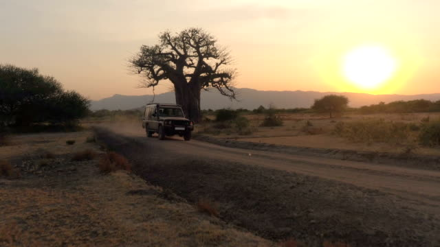 AERIAL: Safari jeep game driving in vast African savannah plains at sunset AERIAL, CLOSE UP: Flying towards game drive safari jeep driving maintenance workers and guides past mighty old baobab tree in beautiful arid African savannah plain field at stunning golden sunset tanzania stock videos & royalty-free footage