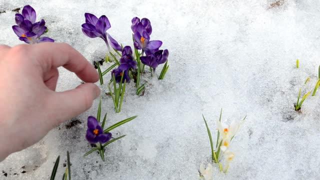 saffron flower pick hand video