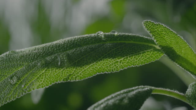 Sage and basil plant video