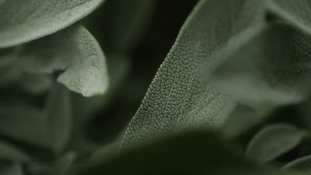 Sage spice plant leaves video