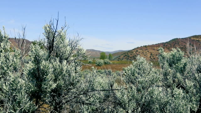 Sagebrush rack focus video