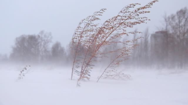 Sagebrush under Blizzard and strong snow windstorm in Siberian at winter Sagebrush under Blizzard and strong snow windstorm in Siberian at winter season siberia stock videos & royalty-free footage
