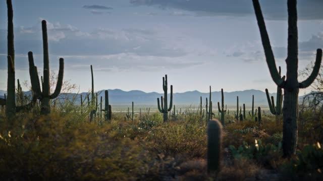 Saguaro Cacti in Evening Desert Landscape