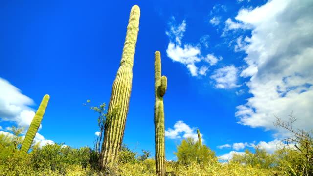 Saguaro Cactus Habitat Stock Video - Download Video Clip Now