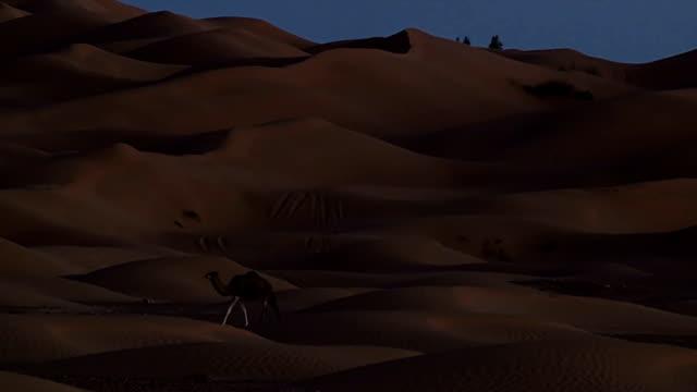 Sahara desert. A dromedary camel at night. video