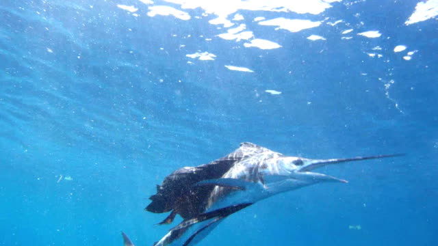 sailfish fighting underwater - fishing stock videos and b-roll footage