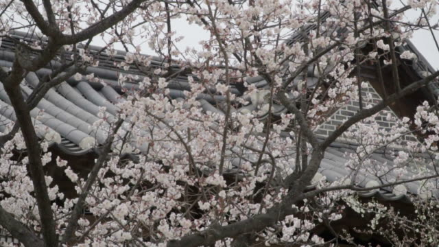 Sakura blossom in the park near ancient temple