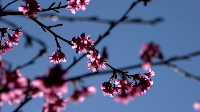 Sakura cherry blossom in spring on blue sky Sakura cherry blossom in spring on blue sky. april stock videos & royalty-free footage