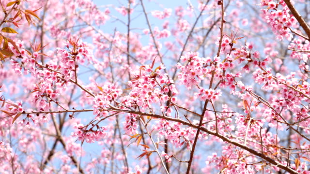 Sakura cherry blossom on blue sky