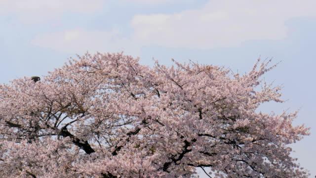Sakura cherry blossom tree on blue sky