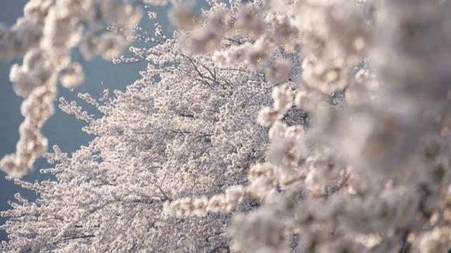 さくら桜の木 - 桜点の映像素材/bロール