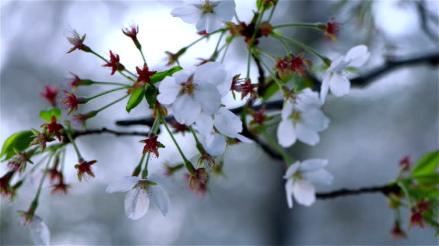 Sakura Cherry Blossom video