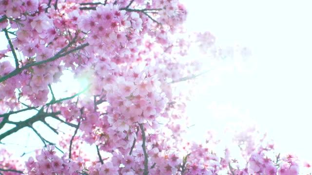 sakura, cherry blossoms, spring. - cherry blossom stock videos and b-roll footage