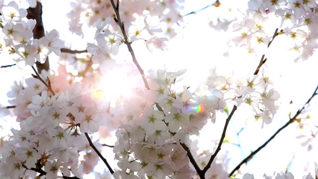 HD: Sakura cherry Blossoms with sun beam video