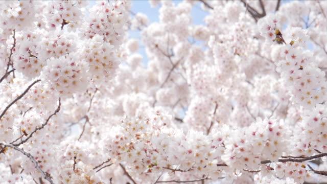 Sakura cherry blsoom are full bloom