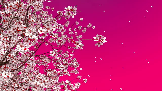 3D sakura cherry tree blossom and falling petals Decorative spring season 3D animation of japanese sakura cherry tree in full blossom and flower petals falling in slow motion against plain pink magenta color background. floral pattern stock videos & royalty-free footage