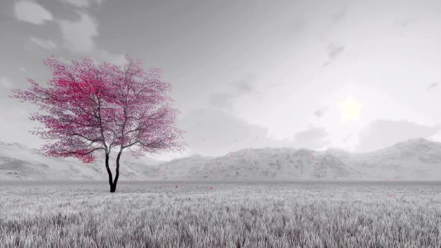 Sakura cherry tree in full bloom slow-motion video