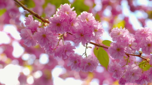 Sakura  - close-up shot, showing amazing blossoms of a beautiful blooming Japanese cherry tree - the camera is panning slowly - shallow depth of field