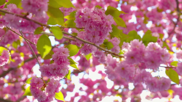 Sakura  - close-up shot, showing gorgeous blossoms of a beautiful blooming Japanese cherry tree - the camera is panning and zooming in - shallow depth of field