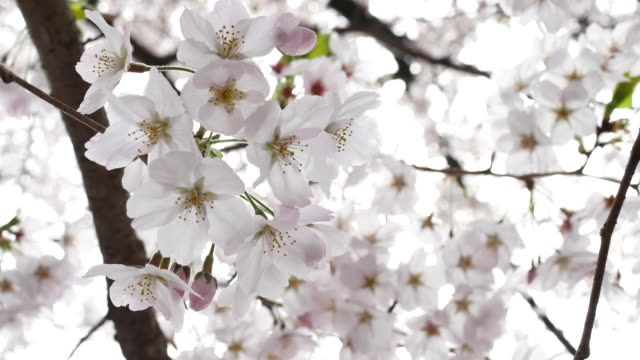 Sakura FLower video