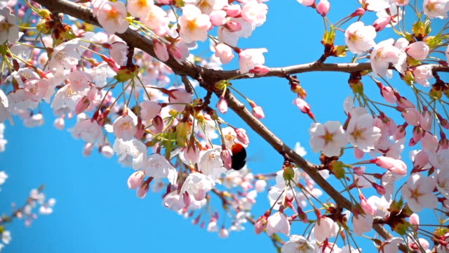 Sakura flowers and a bumblebee, slow motion video
