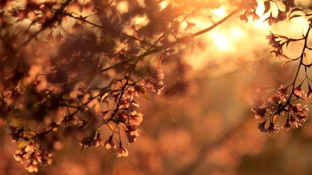 Sakura in sunshine video