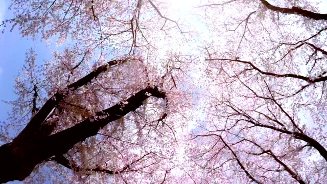Sakura  - look up at the sky Sakura - look up at the sky april stock videos & royalty-free footage