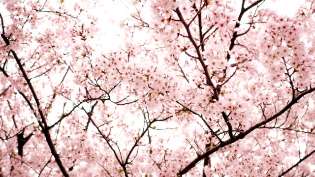sakura or cherry blossom in springtime - spring stock videos & royalty-free footage