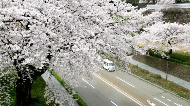 vídeos de stock e filmes b-roll de sakura or cherry blossom in springtime - passagem de ano