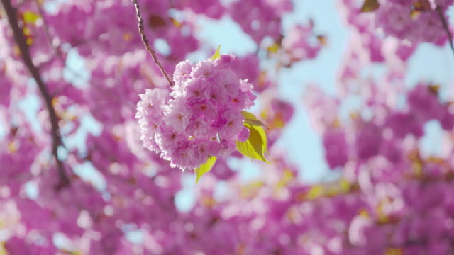 Sakura - perfect looking flowers of a beautiful blooming Japanese cherry tree on a sunny spring day - close-up, panning shot