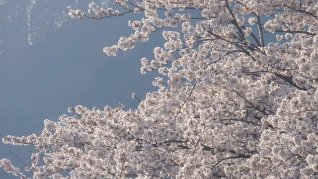 Sakura tree blowing in the wind