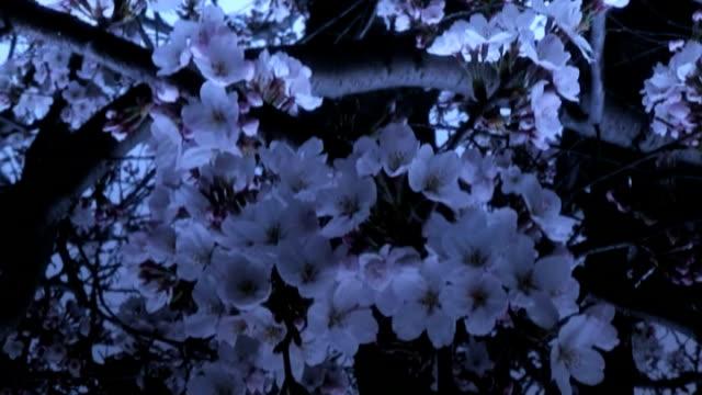 sakura zmierzch odbicie - opis fizyczny filmów i materiałów b-roll