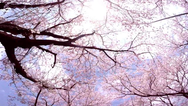 Sakura video
