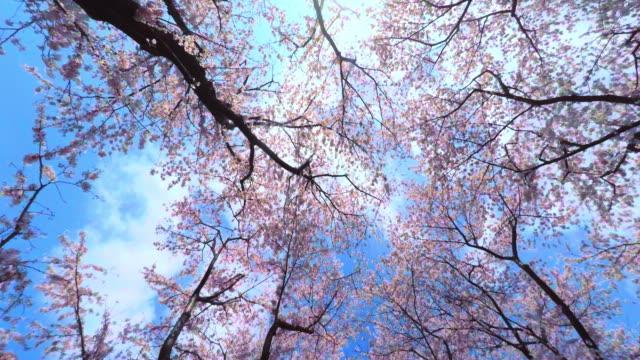 sakura - cherry blossom stock videos and b-roll footage