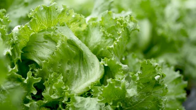 Salad vegetables.Organic vegetable farm. Beautiful colors. Salad vegetables.Organic vegetable farm. Beautiful colors. lettuce stock videos & royalty-free footage