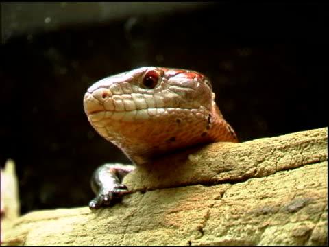 salamander lizard diesem - kürzer als 10 sekunden stock-videos und b-roll-filmmaterial