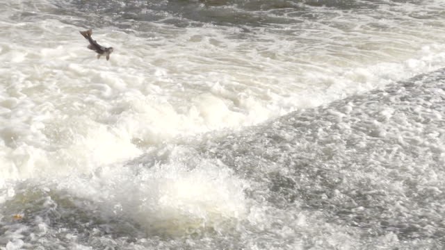 Salmon Jumping Over Weir In River Rapids Salmon fish have crossed the Atlantic and are returning home to the River Severn and upstream to Lake Vernwy but first need to jump over a weir in Shrewsbury. They travel back to their birth place to spawn but first need to pass river obstacles. Shot in slow Motion for super action shots of the fish leaping. homecoming stock videos & royalty-free footage