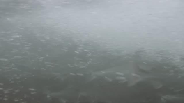 UHD 4K: Salmon migrating up stream underwater video