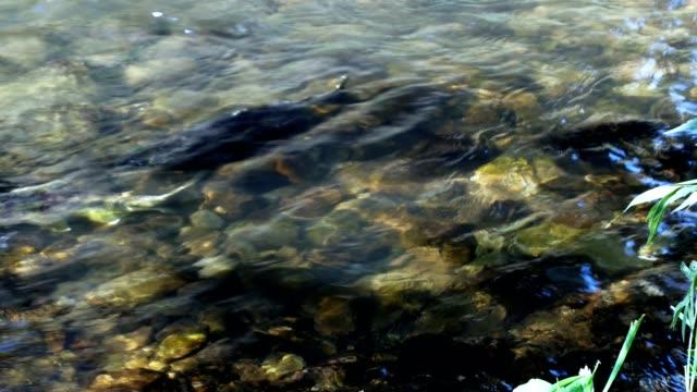 Salmon run-up Salmon run-up freshwater stock videos & royalty-free footage