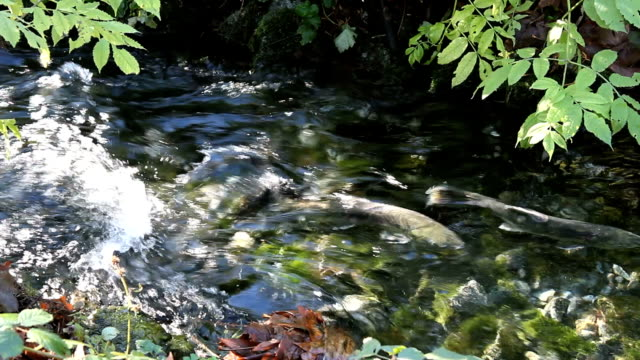 Salmon Spawning Channel Rapids video