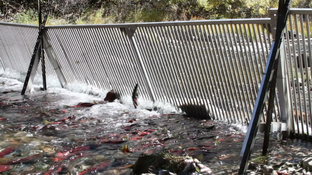 Salmon swimming and jumping at Weir gate video