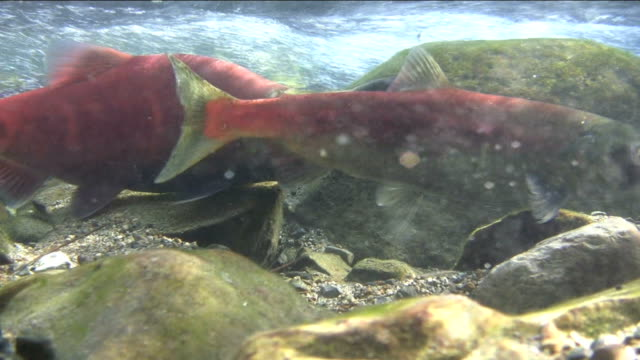 Salmon Swimming with Fangs video